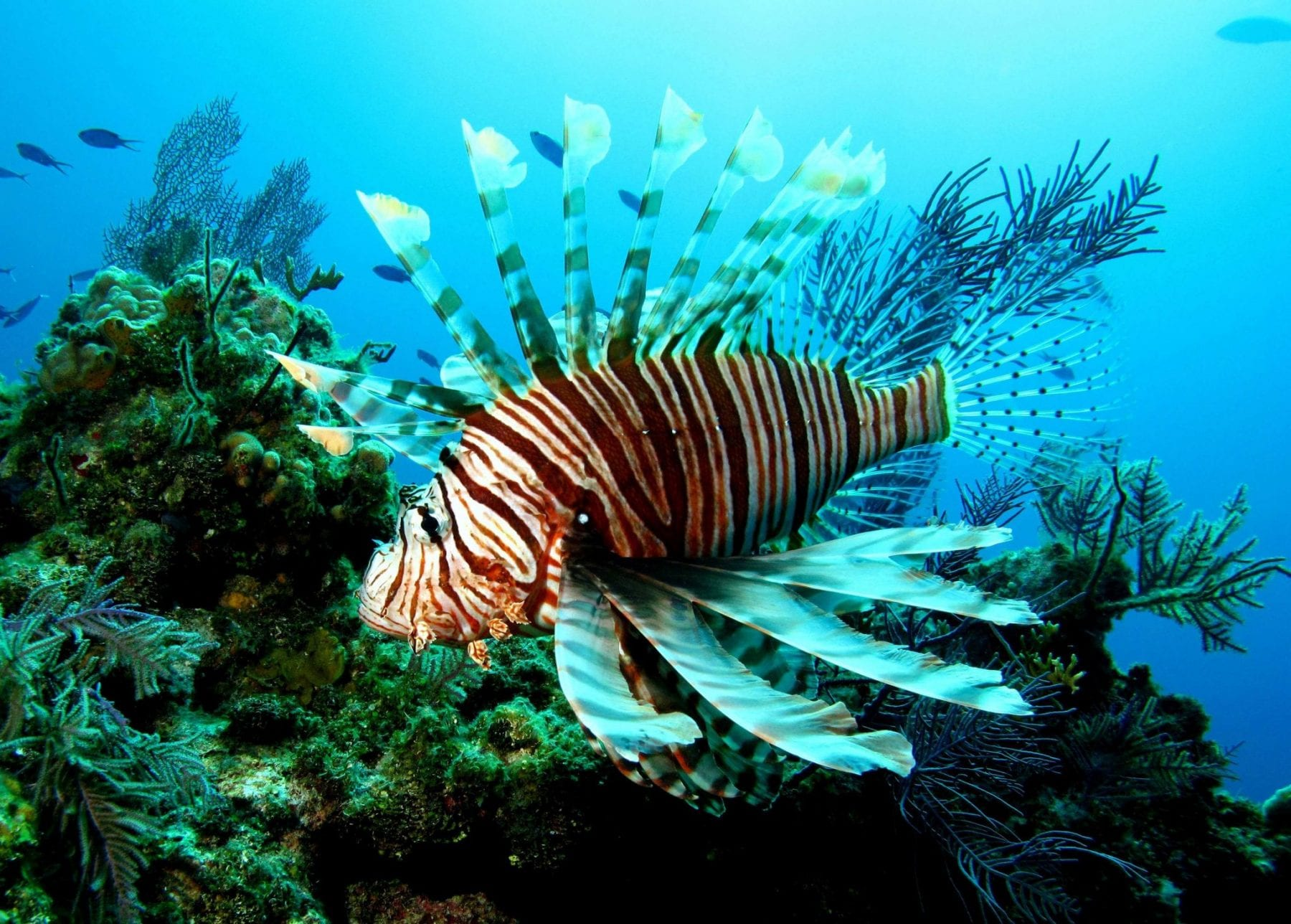 Lionfish Festivals And Reward Programs Coastal Angler