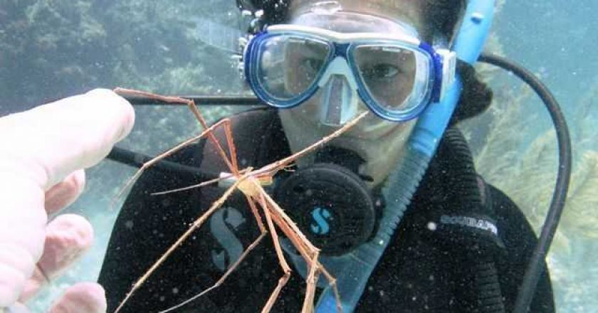 Photo of an arrow crab under the sea in Abaco, Bahamas.