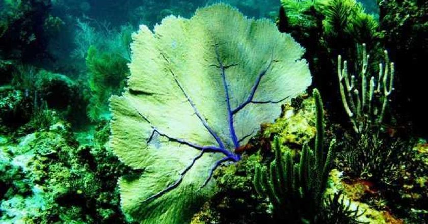 Sea fan photo
