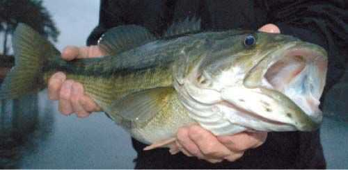largemouth-bass