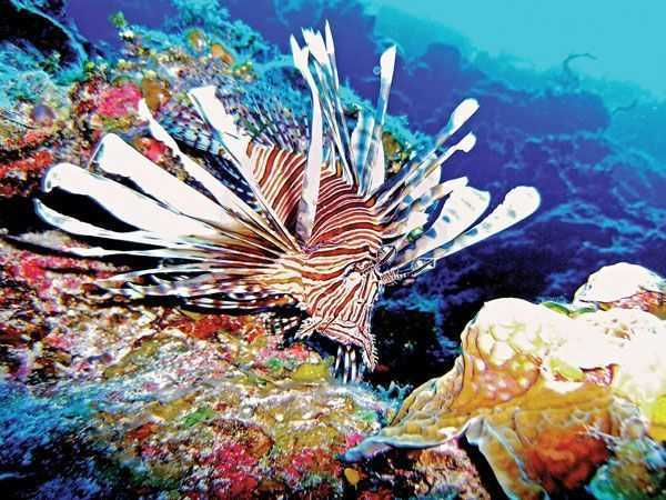 Lionfish-on-the-Reef