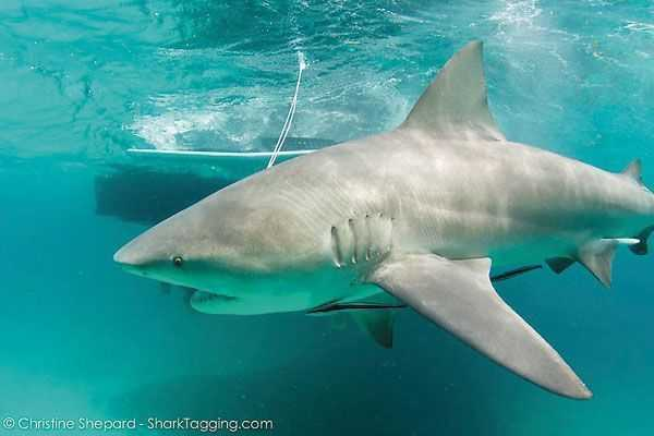 A bull shark is tagged and released by UMiami researchers last month.
