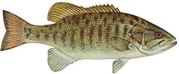 smallmouth_bass-copy