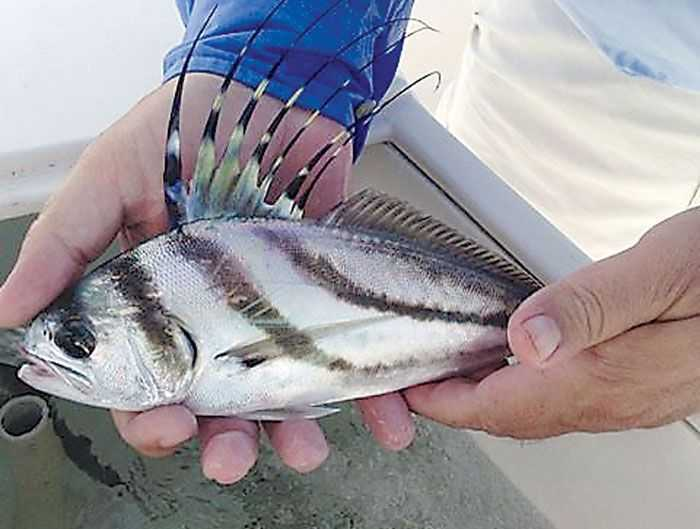 For a great fight try the rooster fish coastal angler for Rooster fish pictures