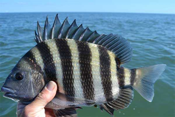 Fishing for sheepshead in south carolina coastal angler for Sc saltwater fish