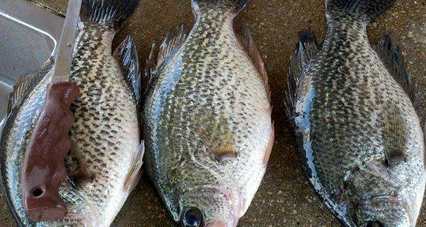 Lake Talquin Fishing Forecasts Coastal Angler The