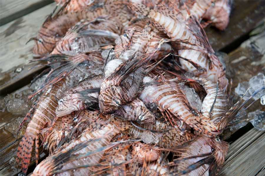 Some of the lionfish removed off the Central Florida coast by dive teams during last year's Treasure Coast Lionfish Safari