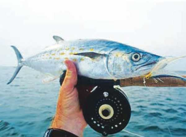 Saltwater fly fishing coastal angler the angler magazine for Saltwater fly fishing magazine