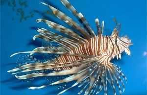 Photo of a lionfish, courtesy of Dr. James Morris, NOAA