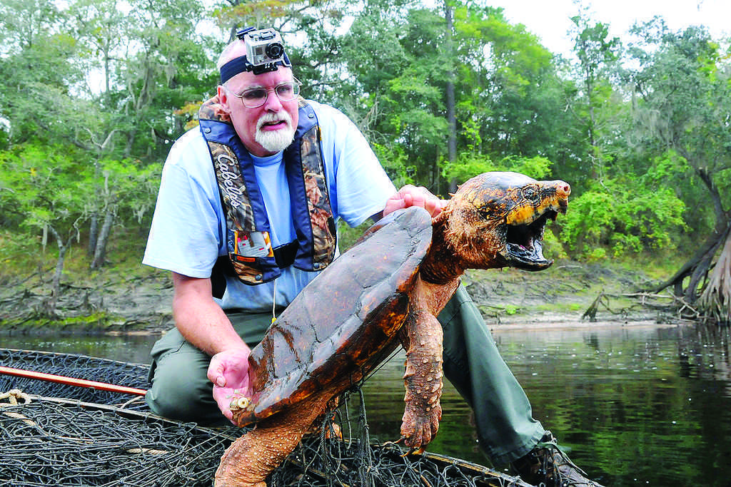 Commercial harvest of freshwater turtles, like this alligator snapping turtle, is illegal. FWC photo by Tim Donovan.