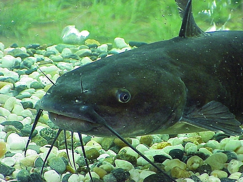Catfish of all species take their name from their barbels or whiskers, which look like a cat's whiskers.