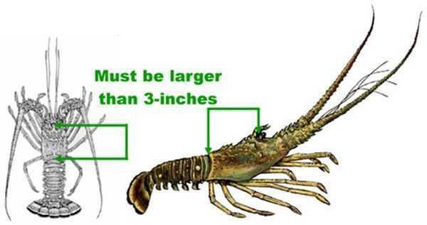 Lobster_Measurements
