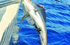 That was my first sailfish and hopefully not my last!