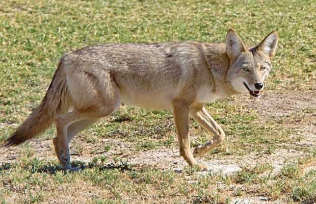Coyote for Nc lifetime fishing license