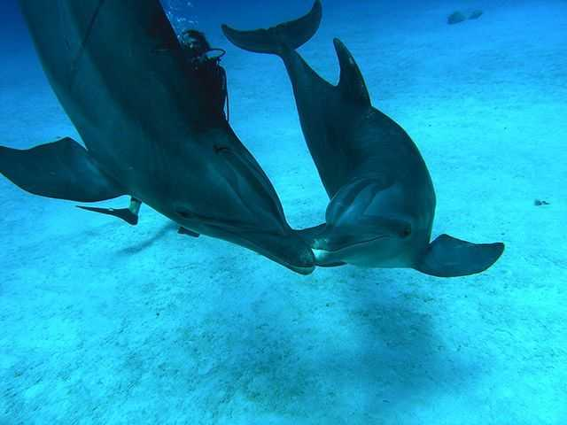 Grand Bahama dolphins welcome the New Year with an underwater 'kiss'. PHOTO CREDIT: UNEXSO.