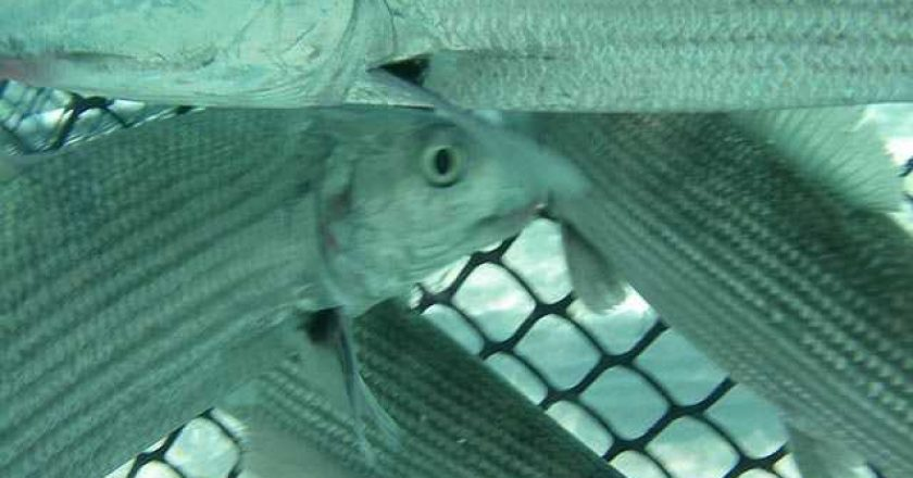 Bonefish are corralled in a seine net by researchers and guides prior to being implanted with an acoustic tag. PHOTO CREDIT: Cape Eleuthera Institute