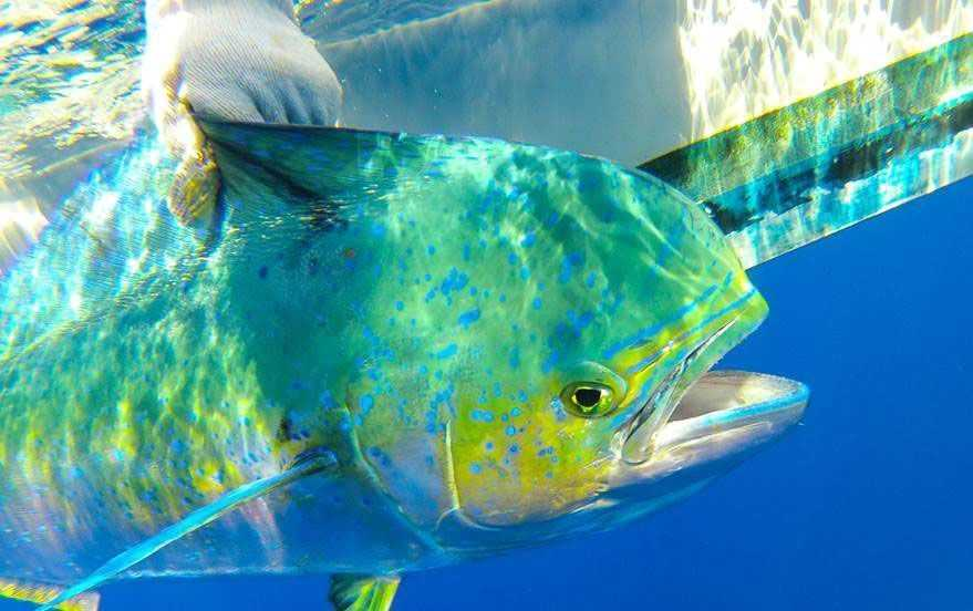 A-tagged-dophinfish-displays-its-colors-before-being-released