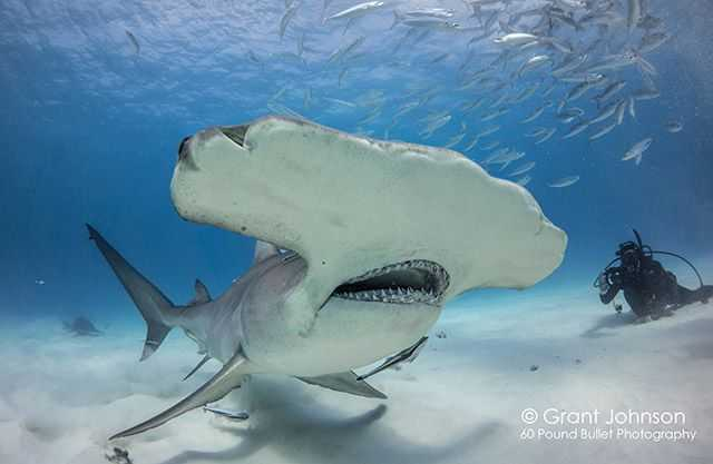 February is the peak month of the great hammerhead aggregation here in Bimini. Viewing these alien shaped sharks firsthand is a dive that you will never forget. PHOTO CREDITS:  Grant Johnson.