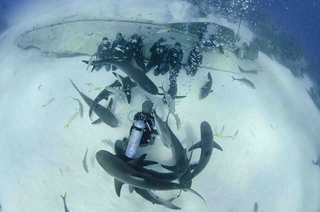 Shark dives and more than ten wreck dives are just some of the highlights a trip to Grand Bahama offers to divers. PHOTO CREDIT: UNEXSO.