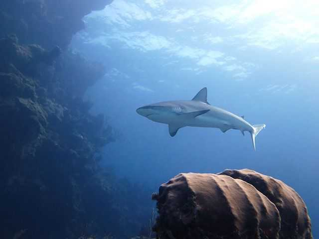 A typical dive in Abaco usually includes sightings of grouper, snapper, angelfish and parrotfish, along with several species of rays, sharks and turtles. PHOTO CREDIT: DIVE ABACO!