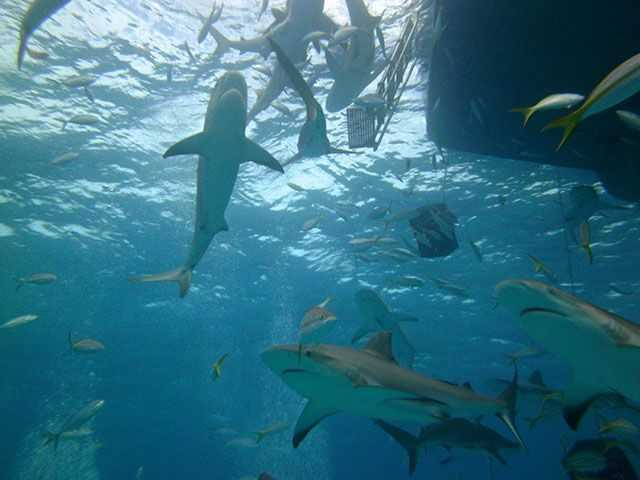 Bahamas shark diving. PHOTO CREDIT : Al Curry.