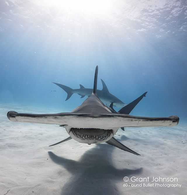 March is perfect for a hammerheads encounter in Bimini. PHOTO CREDIT: Grant Johnson.