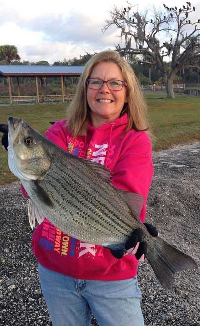 Carla Stevens-Rohl with a hybrid striped bass caught at the St. Lucie Locks on a Rapala. PHOTO PROVIDED by Carla Stevens-Rohl.