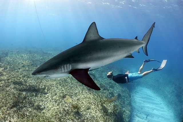 Dr. Edd Brooks from the Cape Eleuthera Institute freediving with Caribbean reef sharks during the shark summit in Bimini. PHOTO CREDIT: Duncan Brake.