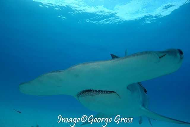 We are seeing great hammerhead and tiger sharks, as well as spotted eagle rays, and horse-eyed jacks. PHOTO CREDIT: George Gross.