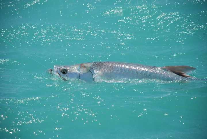 Rileys chokoloskee tarpon coastal angler the angler for Chokoloskee fishing report