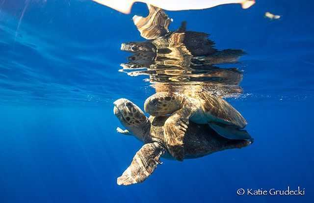 """It is not uncommon at all to see a pair of turtles """"frolicking"""" at the surface all month long in May. PHOTO CREDIT: Katie Grudecki."""