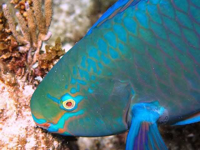 "Colorful parrotfish make great ""subjects"" for underwater photo enthusiasts. PHOTO CREDIT: Keith Rogers."