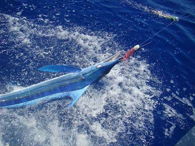 Southern Comfort releases a blue marlin. PHOTO CREDIT: Jonathan Wolff.