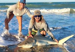 Sharks can be found hammering the migrating bait pods all along the Space Coast shoreline.