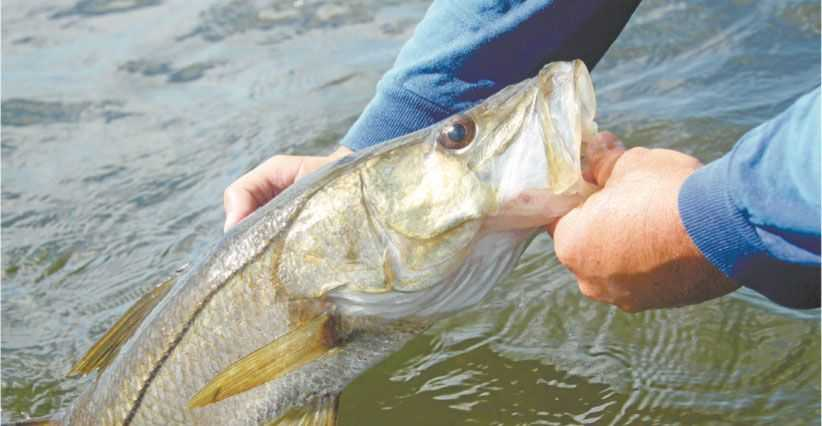 Florida's West Coast offers prime snook action on back-bay flats, around man- grove roots, bridge abutments and most any man-made structure. Photo by Tom Schlichter.