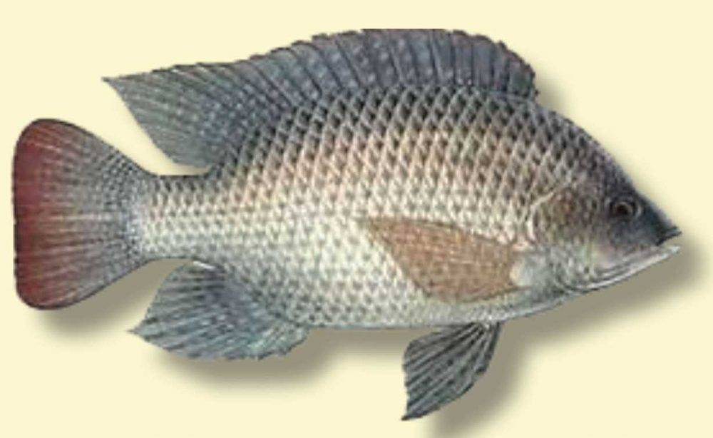 Species spotlight blue tilapia coastal angler the for Florida freshwater fish pictures