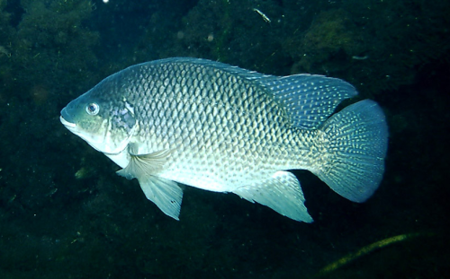Species spotlight blue tilapia coastal angler the for Is tilapia a fake fish
