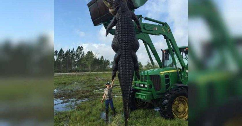 Cattle-eating Alligator