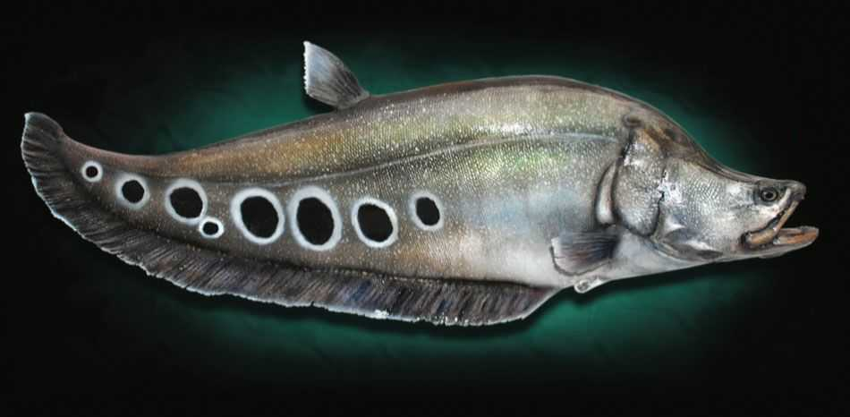 SPECIES SPOTLIGHT: FLORIDA CLOWN KNIFEFISH