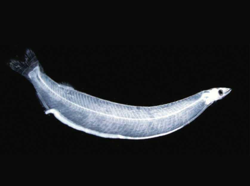 Tarpon Larvae