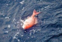 Gulf Snapper Season
