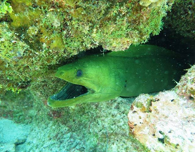 A green moray enjoying Abaco's underwater playground. PHOTO CREDIT: Keith Rogers.