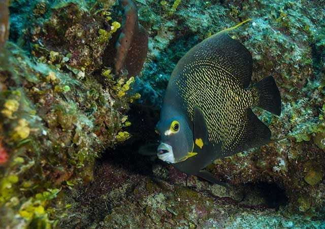 French angelfish, Pomacanthus paru. PHOTO CREDIT: Rich Bryant.