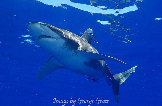 The payoffs diving Current Cut include large and small shark sightings, such as this oceanic white tip shark. PHOTO CREDIT: George Gross.