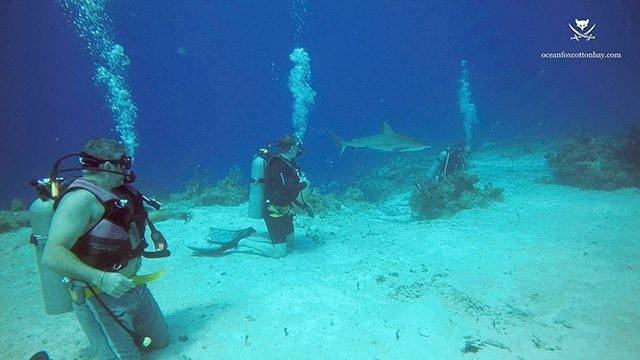 Divers observing sharks up close and personal during a chumsicle drive. PHOTO CREDIT: Ocean Fox Cotton Bay.