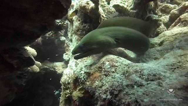 Big green, curious moray on Thick Fingers in early April. Weather was perfect, light winds, water temperature 78F. PHOTO CREDIT: Ocean Fox Cotton Bay.