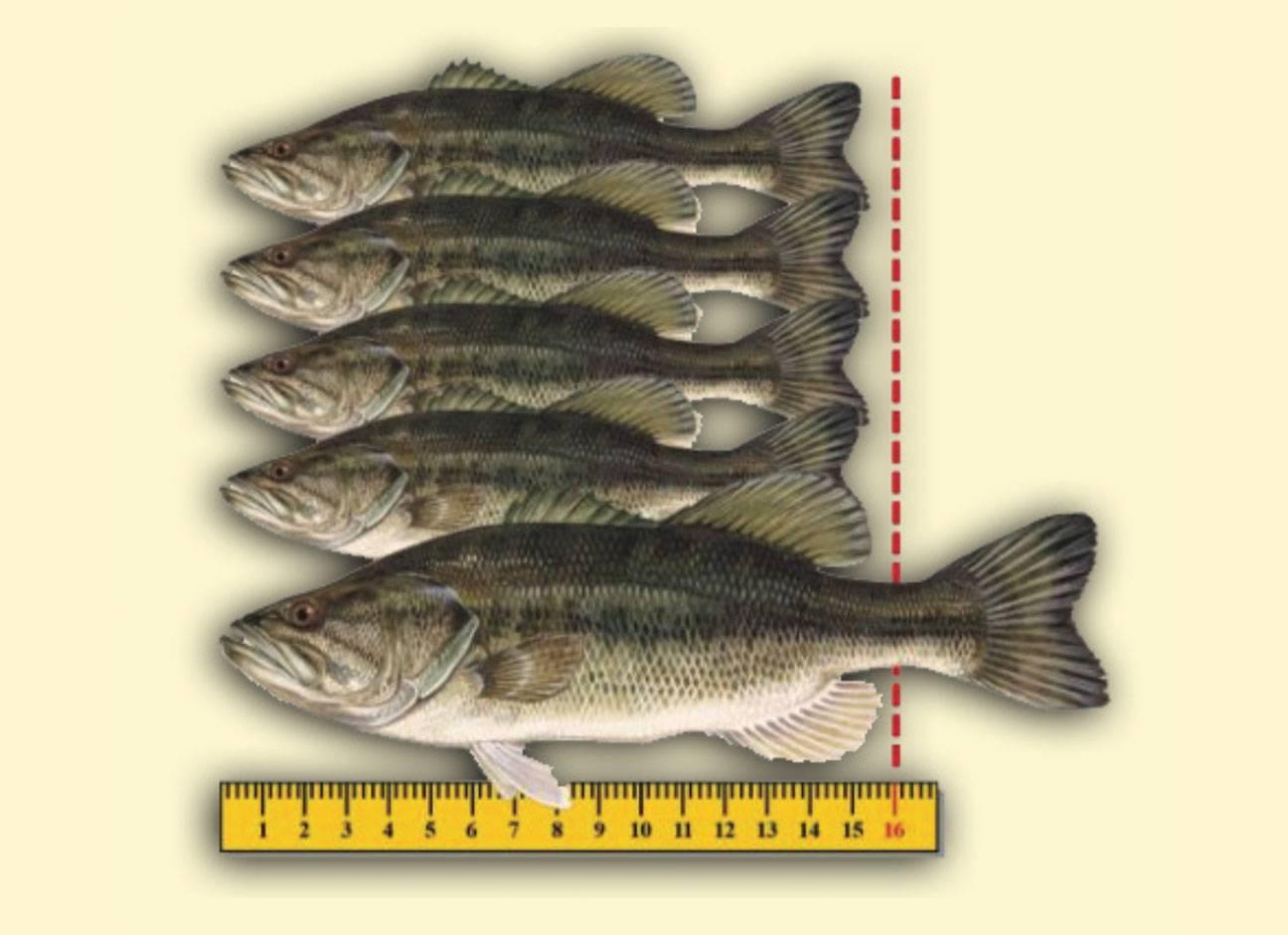 Florida s new largemouth bass regulations coastal angler for Ri fishing regulations