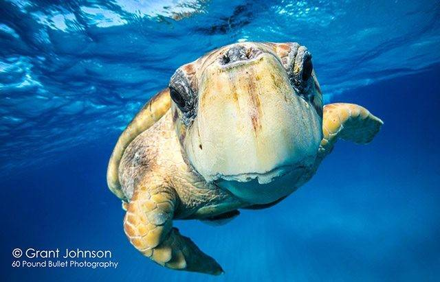 The coolest big animals hanging around Bimini this month are huge loggerhead turtles. PHOTO CREDIT: Grant Johnson.