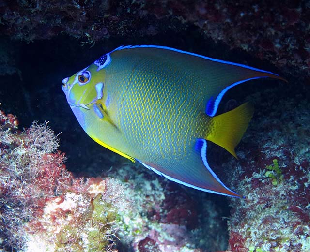 An Abaco queen angelfish. PHOTO CREDIT: DIVE ABACO!