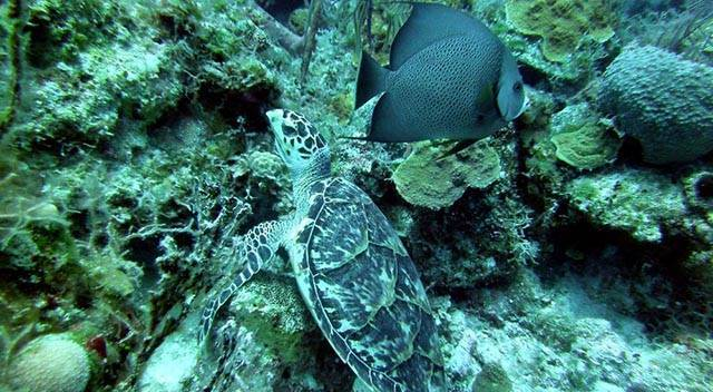 Marine life on South Eleuthera offshore reefs is abundant and offers great photo opportunities for the novice or experienced photographer with crystal clear water. PHOTO CREDIT: Ocean Fox Cotton Bay Scuba Diving.